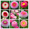 English Daisy Perennial Flowers Garden Chrysanthemum Mix Colors 200 PCS Seeds V