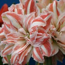 Jumbo Amaryllis DANCING QUEEN 25+ centimeters large - Will Bloom Spring 2019