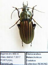Carabus ctenocarabus melancholicus costatus (male A1) from PORTUGAL