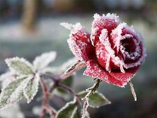 PHOTO WINTER FLOWER FROSTY PETALS RED ROSE LARGE ART PRINT POSTER LF1710
