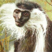 Antique colour printed postcard Angolan Colobus Monkey Zoological Society London