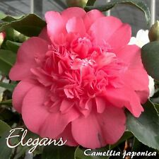 """Kamelie """"Elegans"""" - Camellia japonica - 3-jährige Pflanze"""