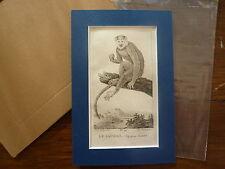 Gravure XIXè - BUFFON / PRETRE 1825 - singe Saimiri -  passe-partout