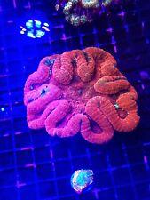 Rainbow Symphilia!!!WYSIWYG Live Coral Frag - Pop Corals Candy Shop