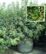 Lecker Pistazien : Atlantische Pistazie : Frostharter Baum bis - 10° / Samen ...