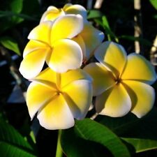 """Plumeria Cutting Rubra Yellow 10""""-12"""" with 1 tip"""