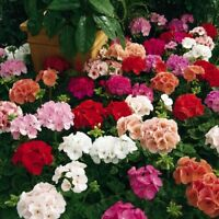 Geranium Pelargonium mix indoor Flower Seeds from Ukraine