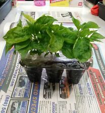 Carolina Reaper Red Hot Pepper Plants - 3pack LIVE PLANTS...Ships Saturday 7-22
