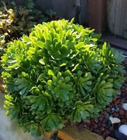 FRESH Cuttings from Tree Green Aeonium Succulent Indoor Outdoor Plant CUT DAILY