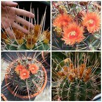 10 seeds of Ferocactus rectispinus, cacti seed succulents seeds, R