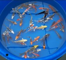 """Group of (10) 5-6"""" ASSORTED Butterfly and Standard Fin Live Koi Fish"""
