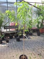Plattpfirsich Tellerpfirsich frosthart!  170 cm Pfirsichbaum Prunus p.platycarpa