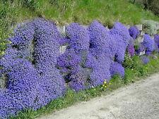 75 Samen Griechisches Blaukissen violett Aubretia deltoides Steingarten