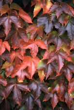 Boston or Japanese Ivy Seed Brilliant Autumn Colour Deciduous Frost Tolerant
