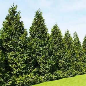 Thuja Green Giant Arborvitae --- 100 Evergreen Trees
