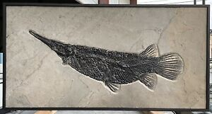 A Superb Rare Fossil Gar from Wyoming