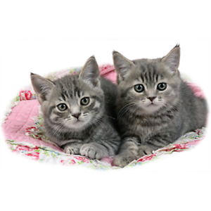 Two Gray Kittens  Tshirt   Sizes/Colors