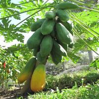 Lady Papaya 24Seeds, Fruits Seeds, Very Sweet Flesh, From Thailand Bonsi