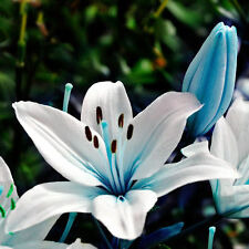Blue n White Lily Flower Seeds Planting Plants Lilium Perfume Garden Rare Exotic