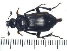 Coleoptera Silphidae Nicrophorus tenuipes Russia, Ussuri region
