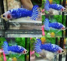 Blue Marble Halfmoon Plakat Female - IMPORT LIVE BETTA FISH FROM THAILAND