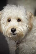 That Face! Darling Little White Labradoodle Puppy Dog Journal : 150 Page.