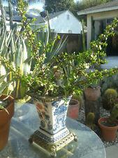 10 Elephant Bush Crassula Portulacaria Jade Succulent Bonsai cuttings