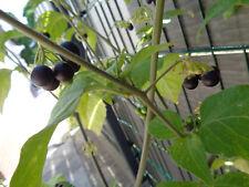 100 x  Schwarze Nachtschatten Samen / Семена Паслёна - Paslen - Solanum nigrum