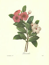 REDOUTE Botanical PERIWINKLE VINCA Flower Art Print #98
