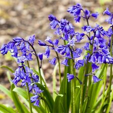 50 ENGLISH BLUEBELLS BULBS Top Quality Fresh Spring Flowering Perennial Bulbs