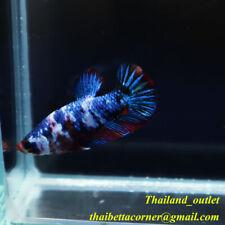 Live Betta Fish Plakad KOI GALAXY HMPK Female Ship from THAILAND M size TW070401