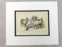 1853 Antico Stampa Siriano Capra Angora Capre Originale Vittoriano Art