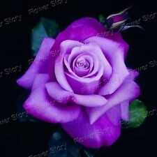 DIY Garden  200 Purple Rose Seeds Awesome  Easy to Grow Free Shipping