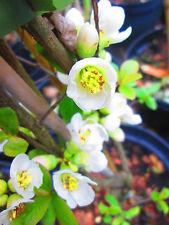 5ft WHITE Japanese Quince - Chaenomeles Nivalis - 10litre 5ft inc. pot