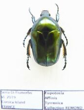Eupotosia affinis tyrrenica (1 ex A1) from FRANCE (Cetoniidae)