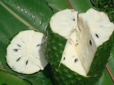 Graviola Soursop Fruit Powder 10:1 Extract 2.2 lb(1kg) Annona Muricata Guanabana