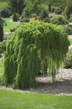 Semillas De Alerce japonés-árbol Hermoso, interesantes hábito de crecimiento
