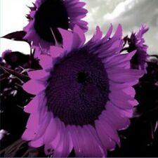 Usa Seller 50 Deep Purple Sunflower Seeds Plants Garden Planting