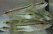 Live 3-4 inch Large Mouth Bass  for fish tank, koi pond or aquarium