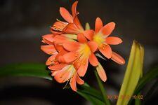 Plants- Clivia miniata