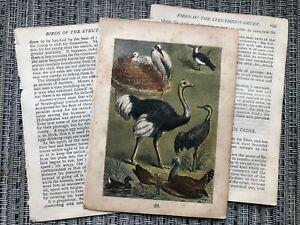 VINTAGE Bird Art Print Antique Book Pages, Ostrich Buffon's Natural History