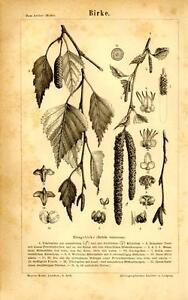 1874 MEYERS KONVERSATIONS-LEXIKON LITHOGRAPH silver, warty, or white birch
