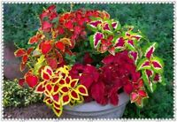 400pcs/bag Colored Grass Seeds Perennial Flower Seed Potted Bonsai Plant Coleus