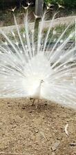 2 White split to Blacksholder pied white Peacock Hatching Eggs