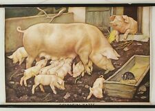 1960 Vintage PULL DOWN CHART of PIG, PIGLETS. Antique School Chart. Large Poster