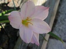 Rain Lily, Zephyranthes Huastecana, 1 bulb, New, Rare, habranthus