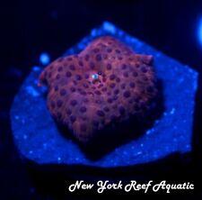 New listing New York Reef Aquatic - 0523 A8 Indo Blue Spot Disco Shroom Wysiwyg Live Coral