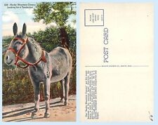 Rocky Mountain Canary looking for Tenderfoot Mule Donkey Burro Colorado Postcard