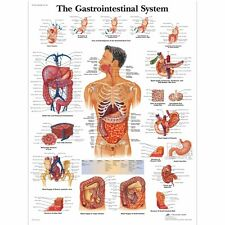Chart Human Body Anatomy  Art Print poster (13x13inch) Decor 27