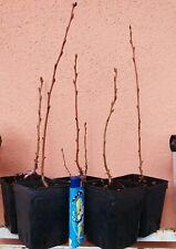 Hardy FICO pianta FICUS CARICA PEDRO GIALLO DOLCE FRUTTA gialla SELF FERTILE